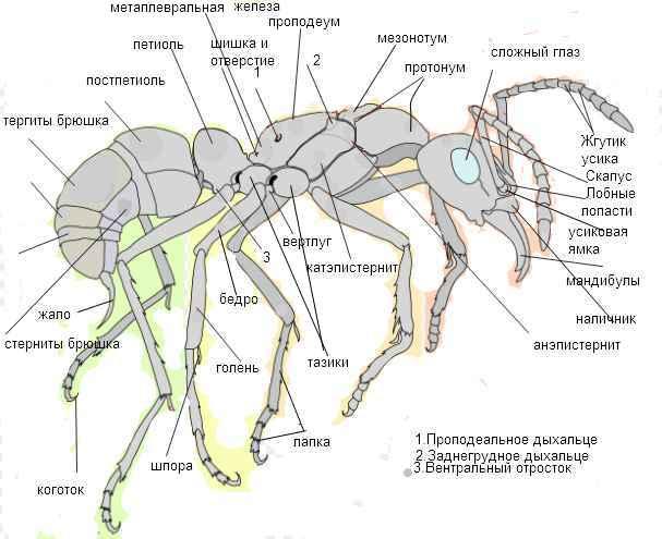 Особенности строения муравья