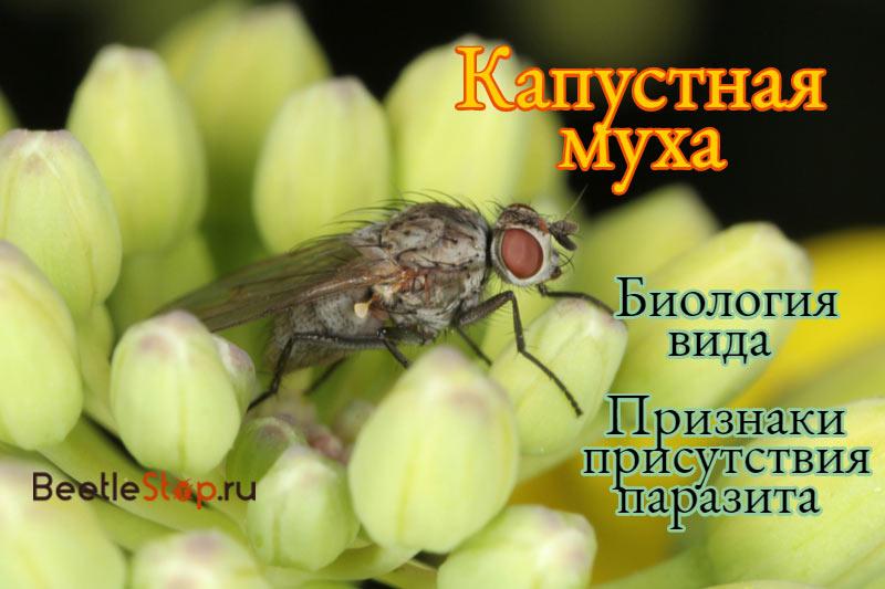 Как бороться с капустной мухой. как бороться с луковой мухой
