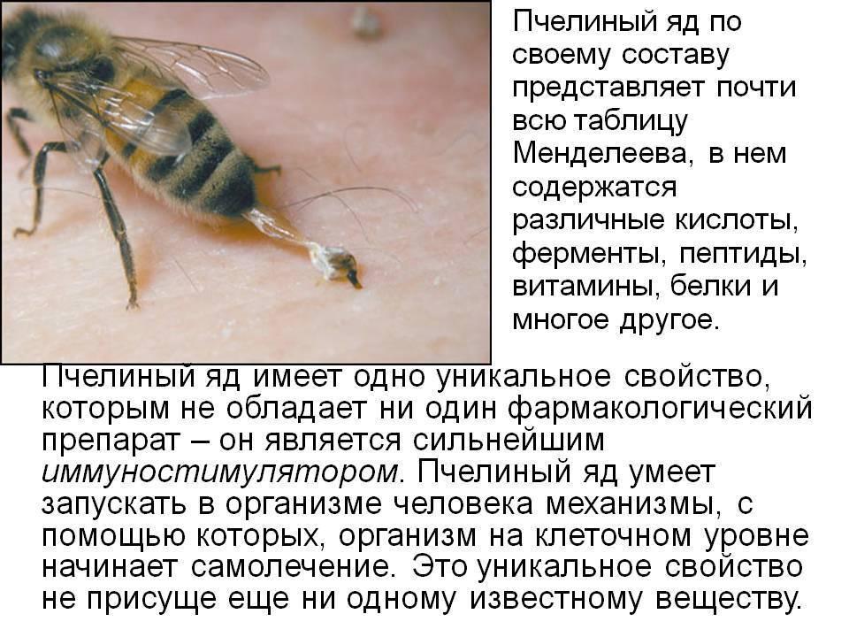 Пчелиный яд – полезные свойства, показания, применение, его действие на организм, состав
