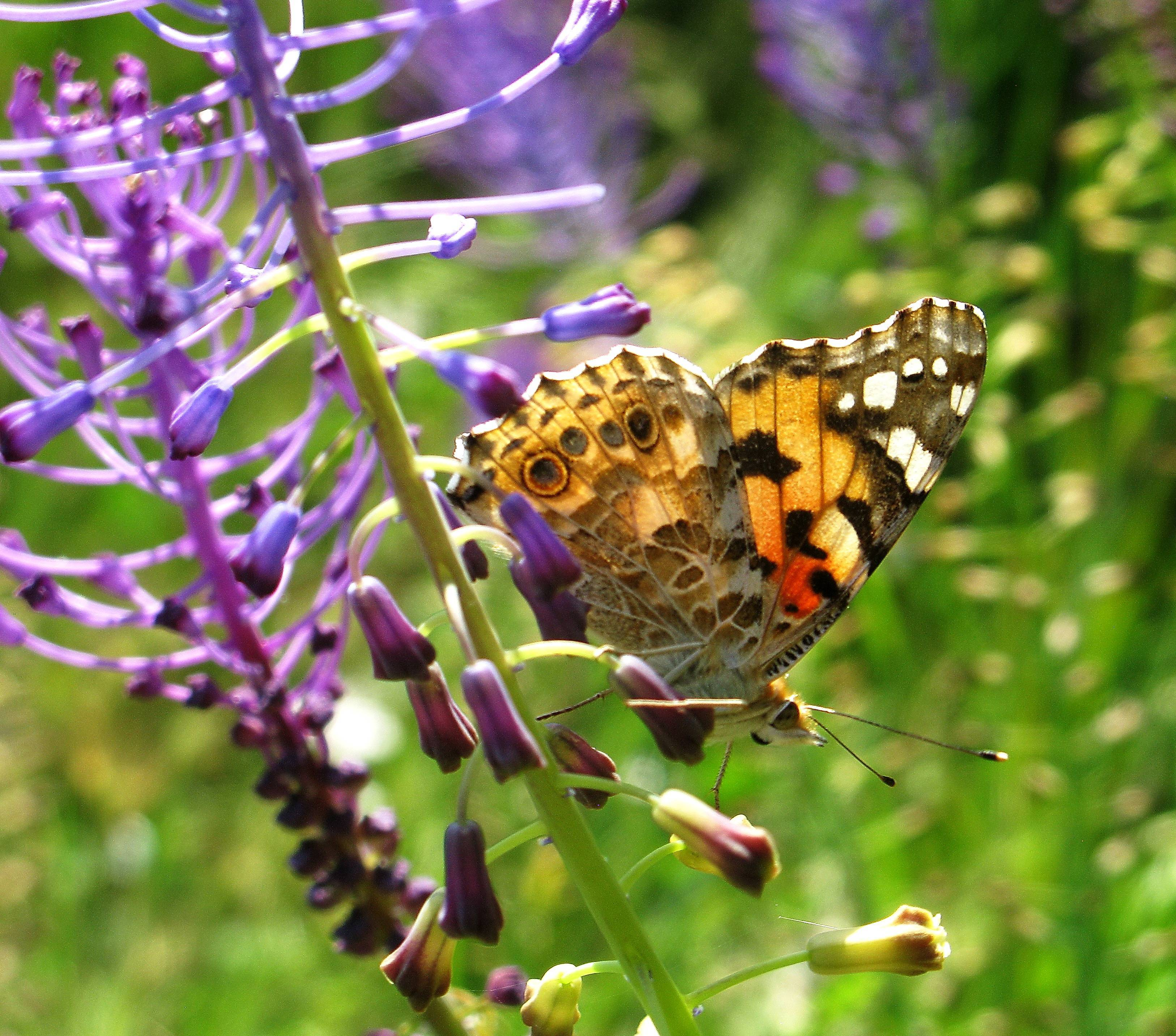 Бабочка репейница интересные подробности жизни
