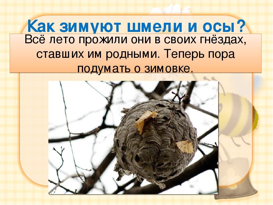Узнаем, как зимуют осы