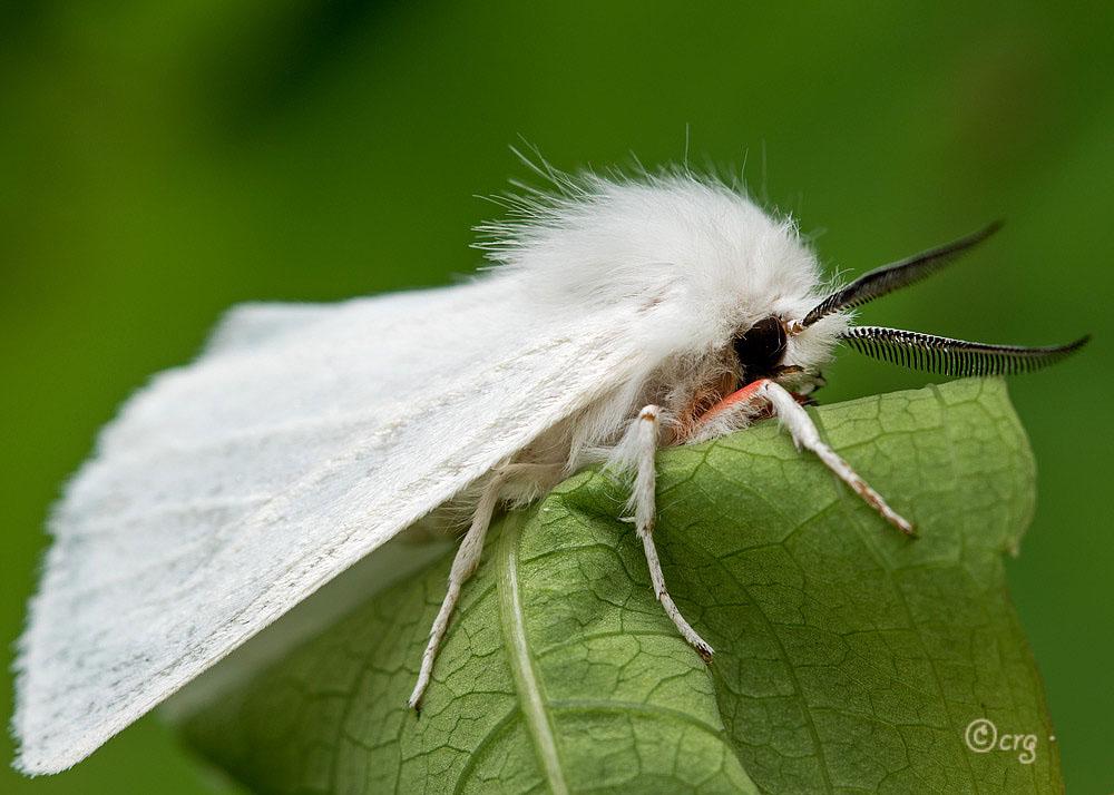 Способы результативной борьбы с бабочками-вредителями. чем опасна американская белая бабочка и как уберечь от нее свой участок