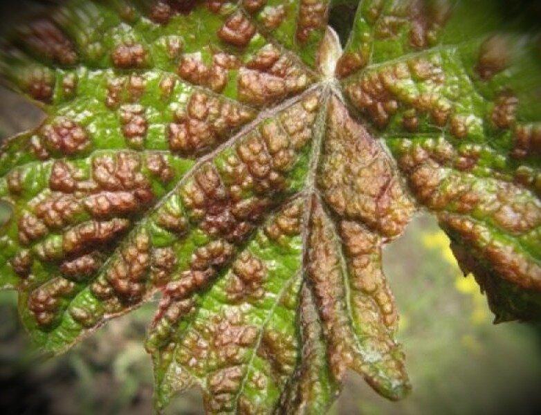Войлочный клещ на винограде борьба с виноградным зуднем и паутинным клещем