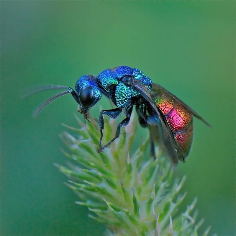 Как размножаются осы, жизненный цикл, сколько живут