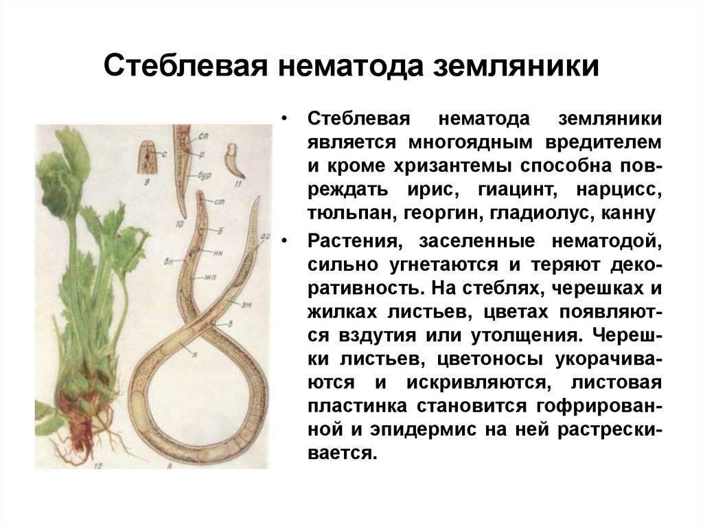 Золотистая картофельная нематода: описание, меры борьбы, фото