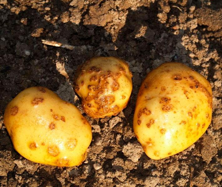 Как избавиться от моли в выкопанной картошки, меры борьбы