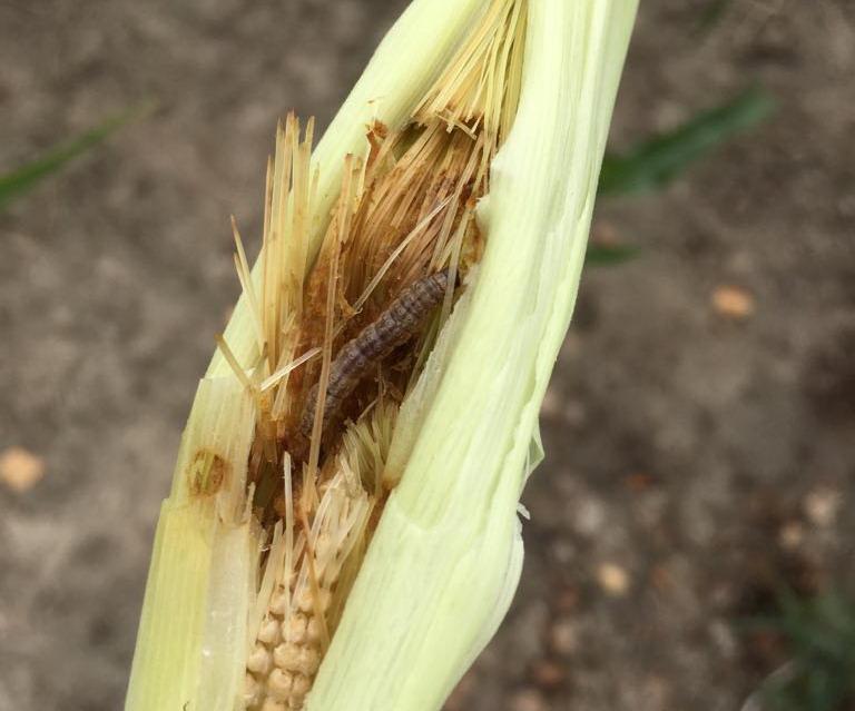 Песчаный медляк — многоядный жук, уничтожающий всходы