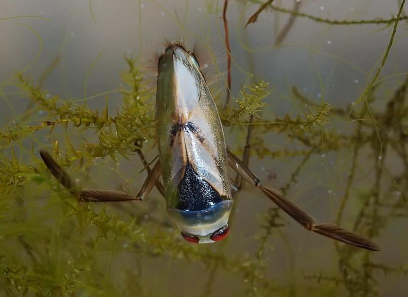 Укус гигантского водяного клопа гладыша - как выглядит и последствия