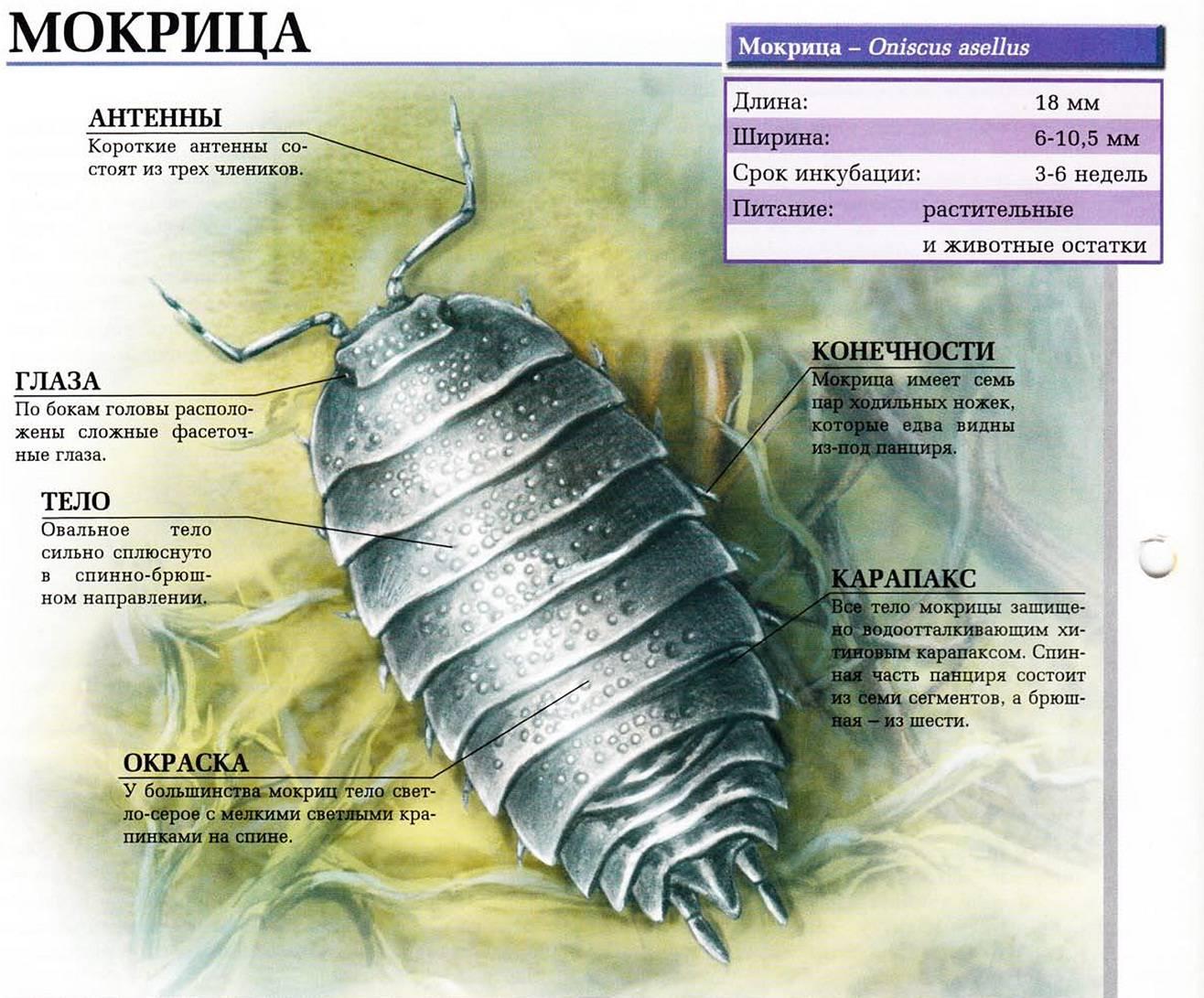 Мокрицы: ракообразного ли класса насекомые, какой тип и отряд представляют, особенности образа жизни и различные способы борьбы с ними русский фермер
