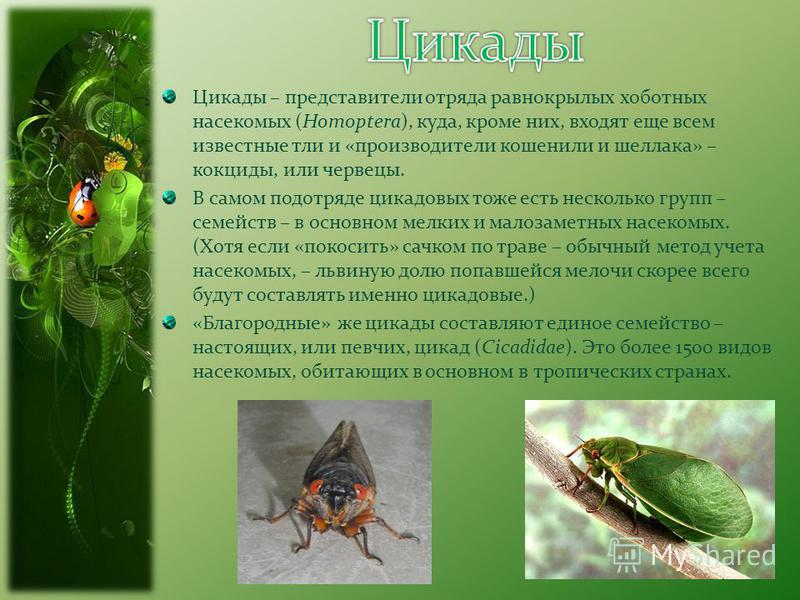 Парнопес крупный: образ жизни блестянки, защитные меры для сохранения вида;