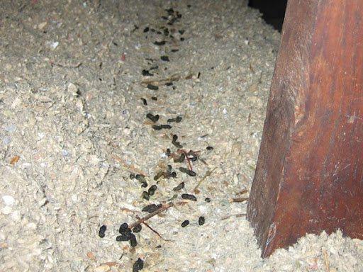 Как вывести крыс из курятника без риска для птиц: народные методы, ультразвук, яды