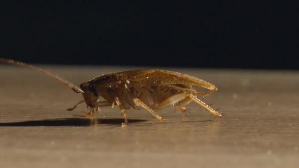 Сколько живут домашние тараканы