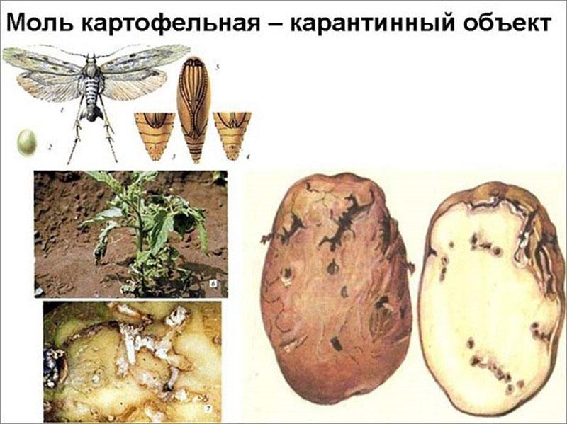 Картофельная моль: как избавиться, меры борьбы, средства