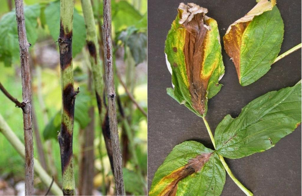 Галлица на малине - виды вредителя и как с ним бороться