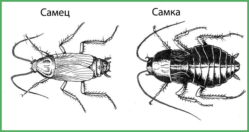 Сколько ног у таракана? виды тараканов: названия, фото, строение | zdavnews.ru | zdavnews.ru