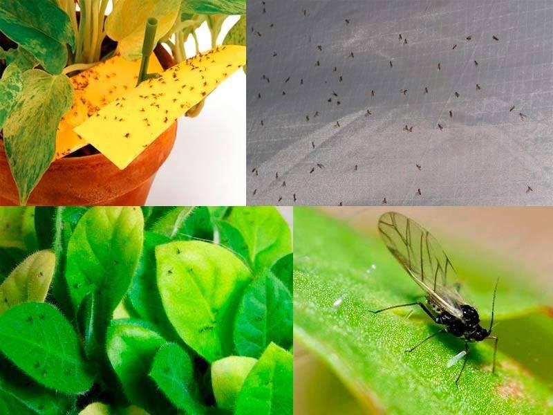 Мошки в цветочных горшках - причины появления и способы борьбы