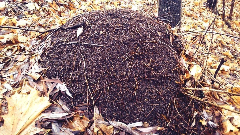 Как зимуют муравьи в муравейнике и что они делают зимой?