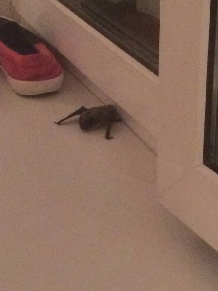 Как ловить летучих мышь, если залетела в дом – варианты решения проблемы