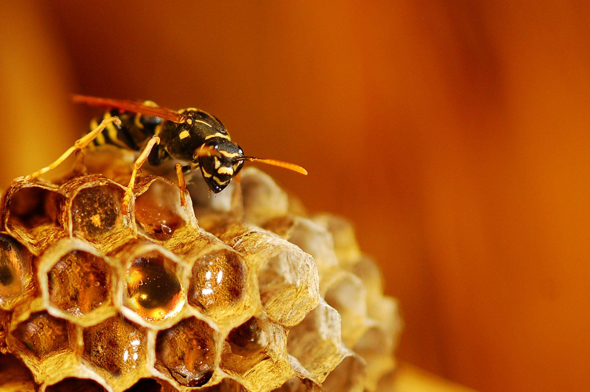 Делают ли осы и шмели мед и каковы его полезные свойства