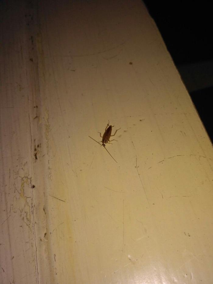 Куда ушли тараканы, почему они исчезли из квартир и опасно ли это для человека?