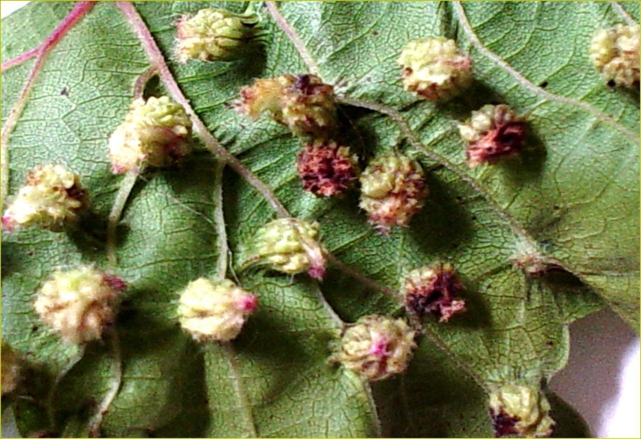 Филлоксера: чем опасна для винограда и как с ней бороться