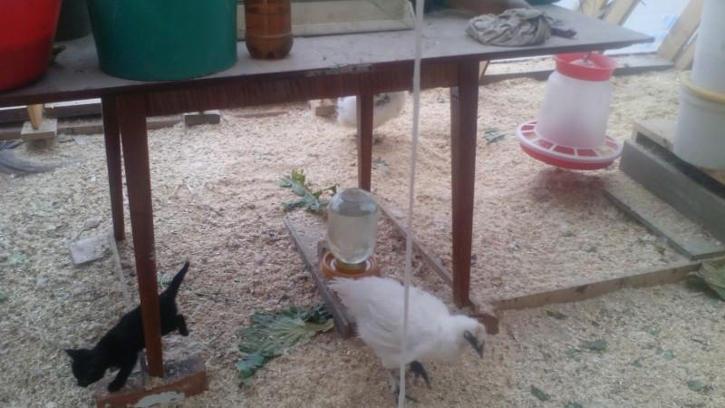 Вредные грызуны в курятнике — боремся с ними правильно - мое село