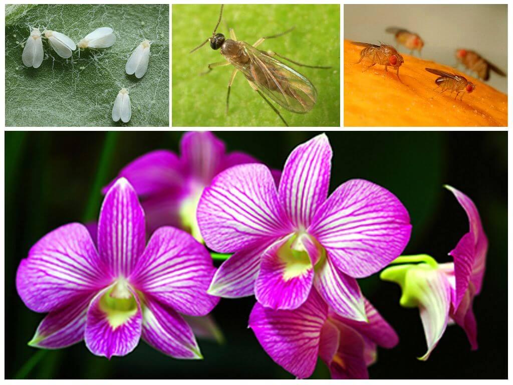 В орхидее завелись мошки: что делать, как избавиться