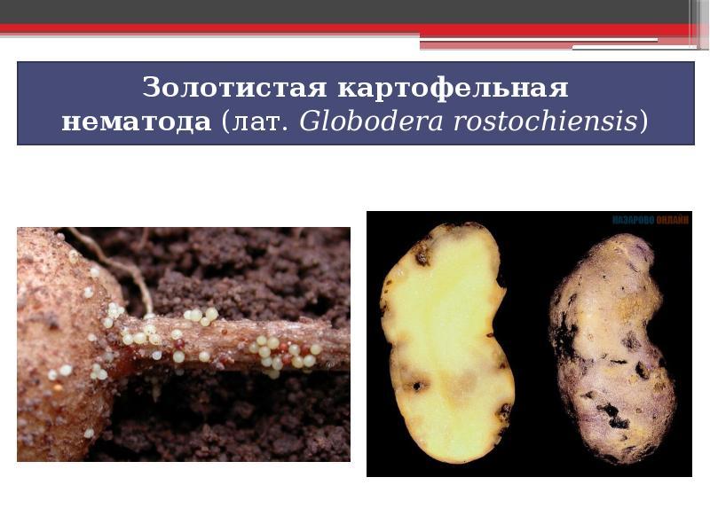 Картофельная нематода, виды и борьба
