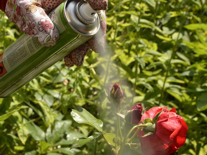 Чем опрыскивать розы от тли?