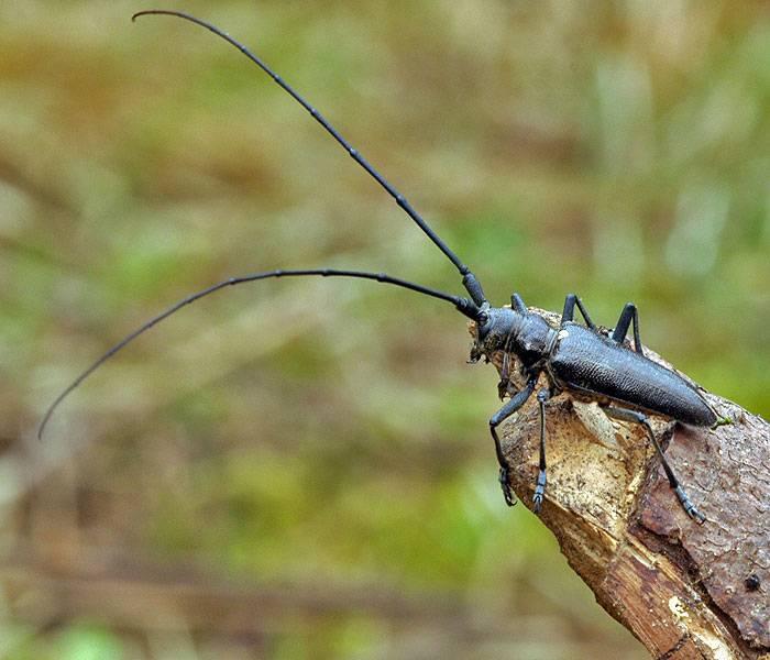 Черный еловый усач (фото): описание и вредоносная деятельность жука