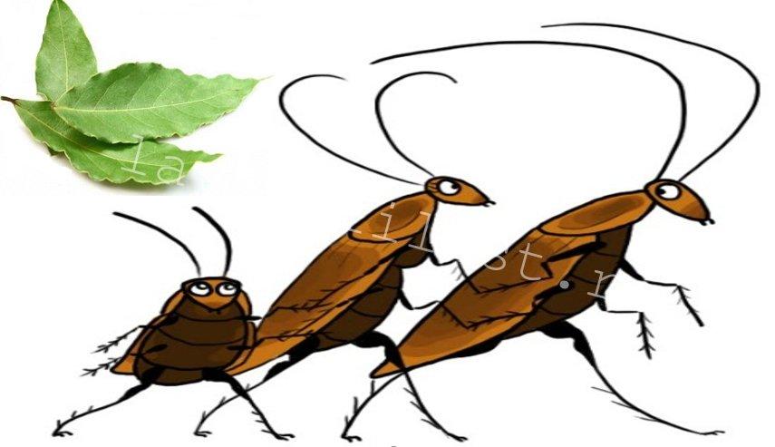Поможет ли лавровый лист от тараканов. горящий лавровый лист от тараканов как использовать правильно.