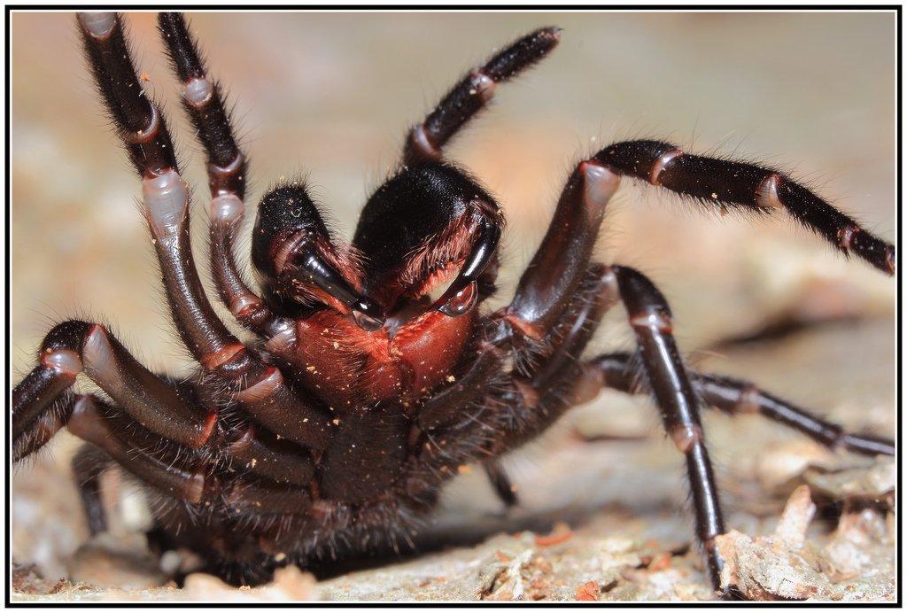 Ядовитые пауки мира – фото и описание   топ самых ядовитых пауков