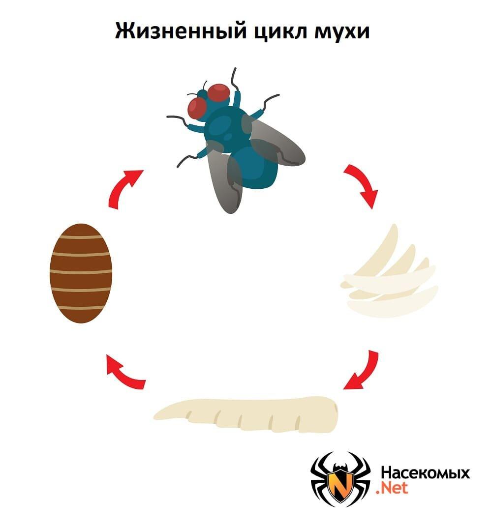 Муха - интересные факты и описание жизненного цикла насекомого (120 фото)