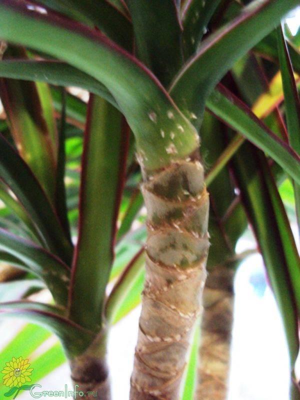 Щитовка на комнатных растениях - чем обработать (инсектициды и народные средства)