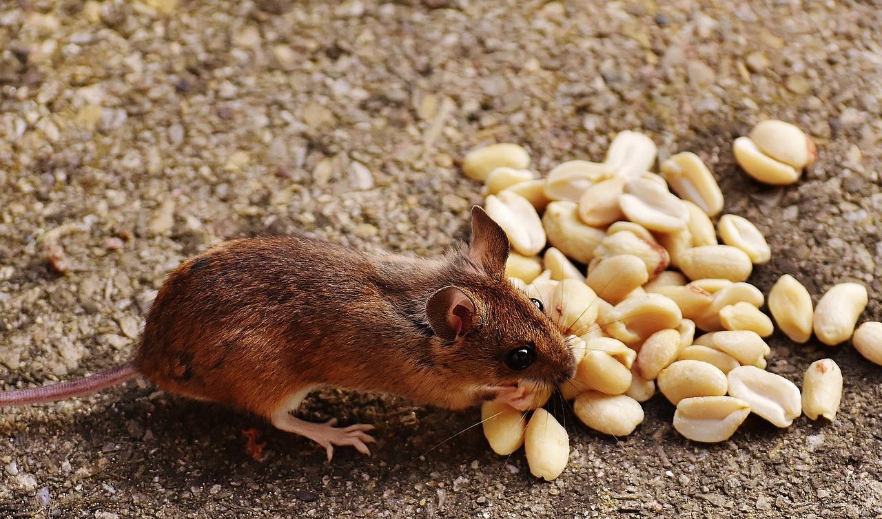 Чем кормить декоративную крысу: что можно давать, а что нельзя, режим питания