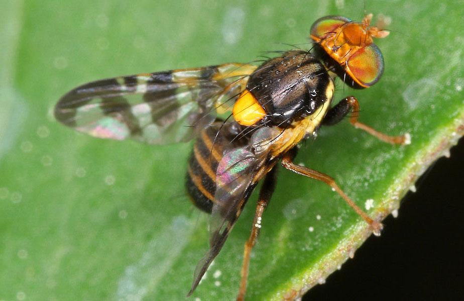 О вишневой мухе: как избавиться, чем обработать, каким препаратом опрыскать