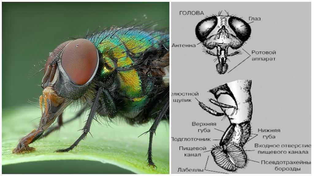 Мышечная система насекомых | справочник пестициды.ru