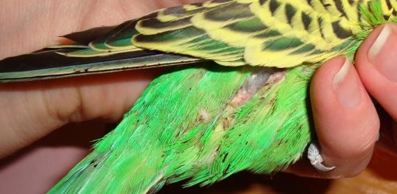Бывают ли блохи у волнистых попугаев и как с ними бороться