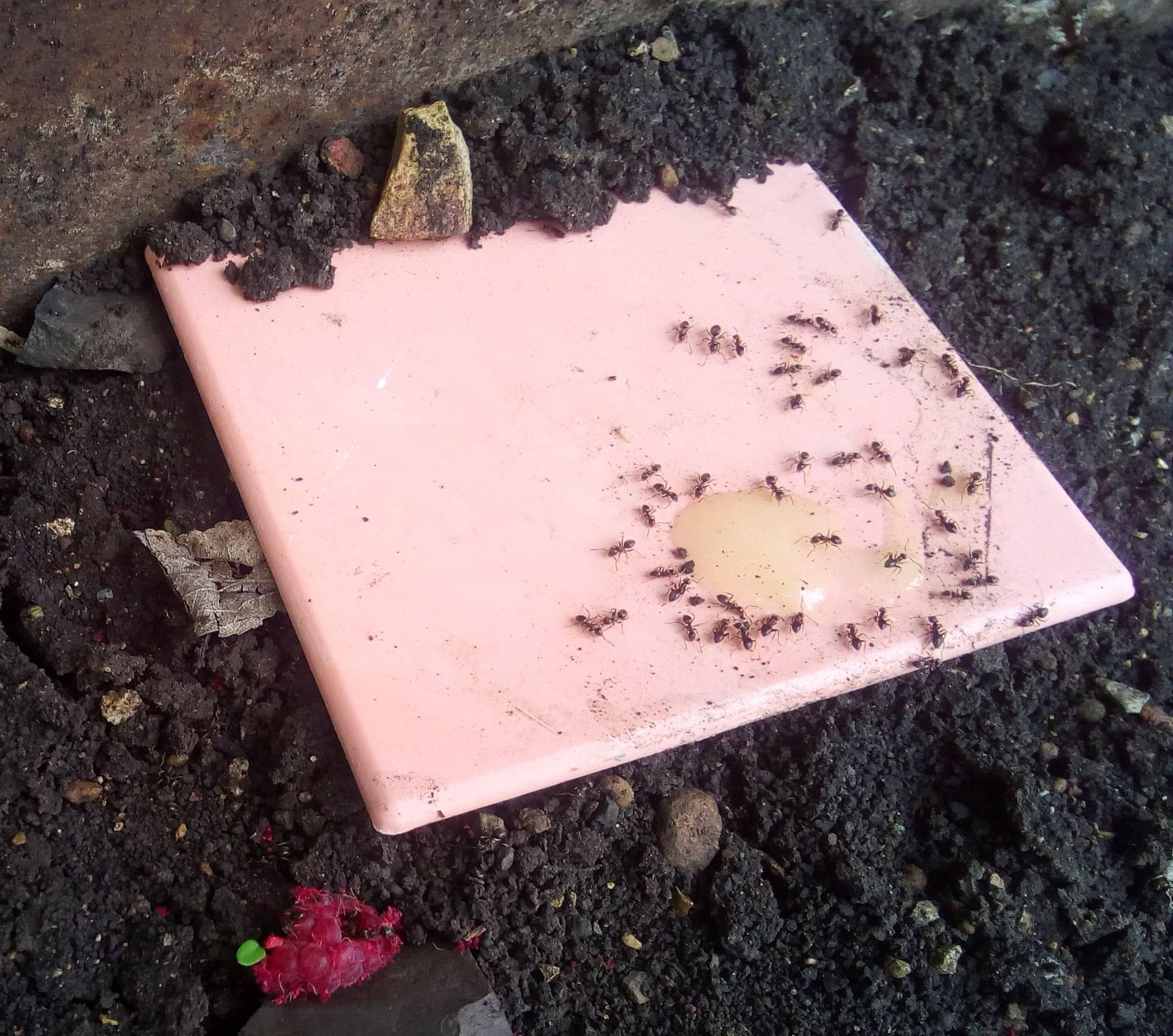 Питьевая сода против муравьев в теплице
