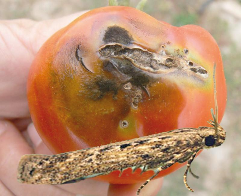 Помидоры в теплице: как бороться с фитофторой и другими болезнями томатов. фитофтора на помидорах в теплице и другие болезни томатов