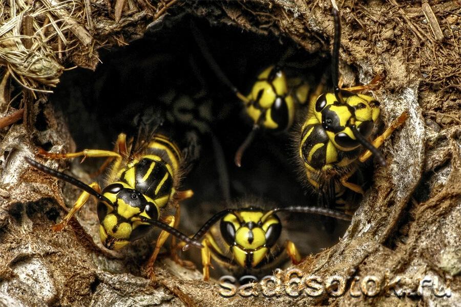 Как уничтожить осиное гнездо в земле: как избавиться от ос и пчел