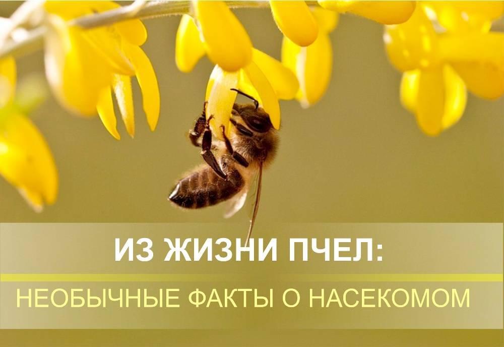 Факты о пчелах для детей   улей, пчела, апиология, мед