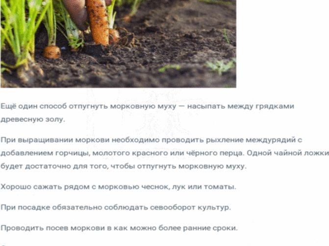 Морковная муха и способы борьбы с ней