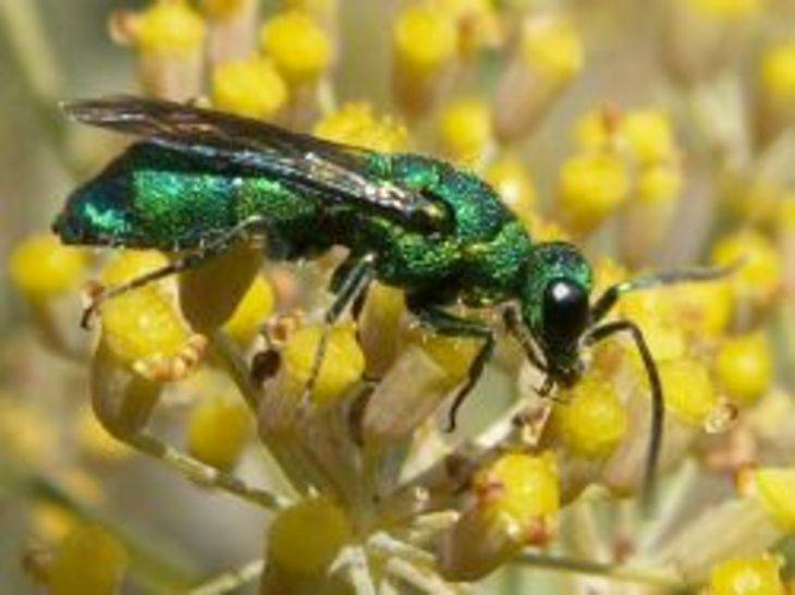 Описание и фото лесной осы. о диких осах и их личинках