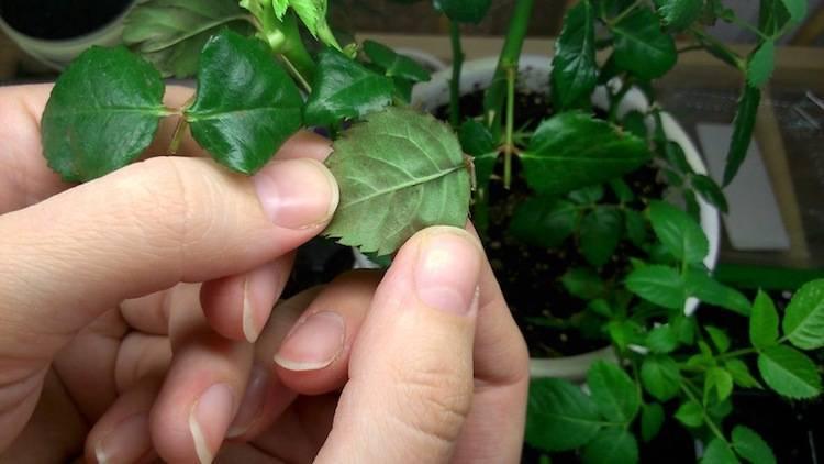 Борьба с паутинным клещом на розах - самые эффективные способы