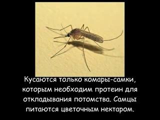 Укус комара — опухоль и покраснение что делать?