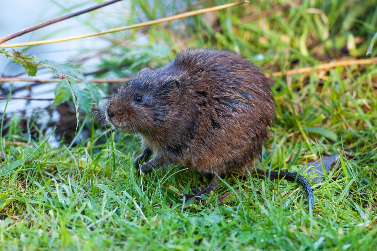 Водяная полевка, или водяная крыса | мир животных и растений