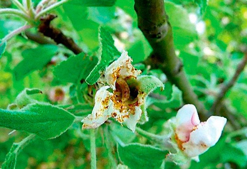 Цветоед яблонный: меры борьбы с долгоносиком