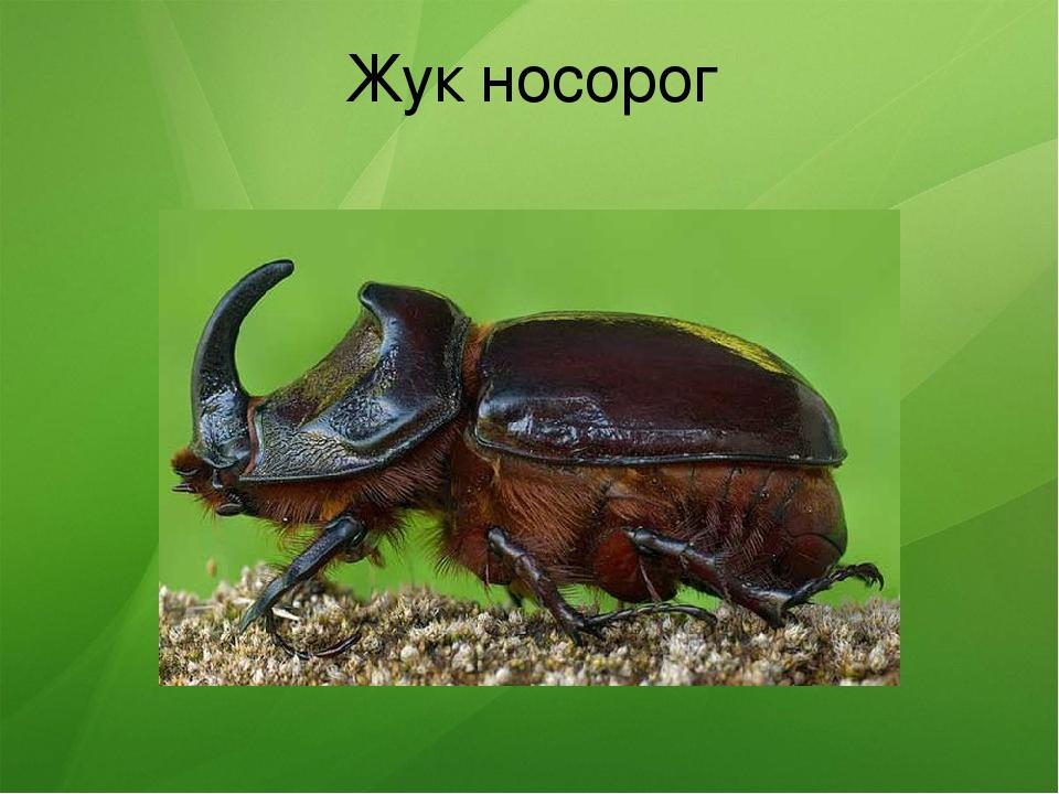 Жук-носорог: фото и описание, имаго и личинки жука носорога