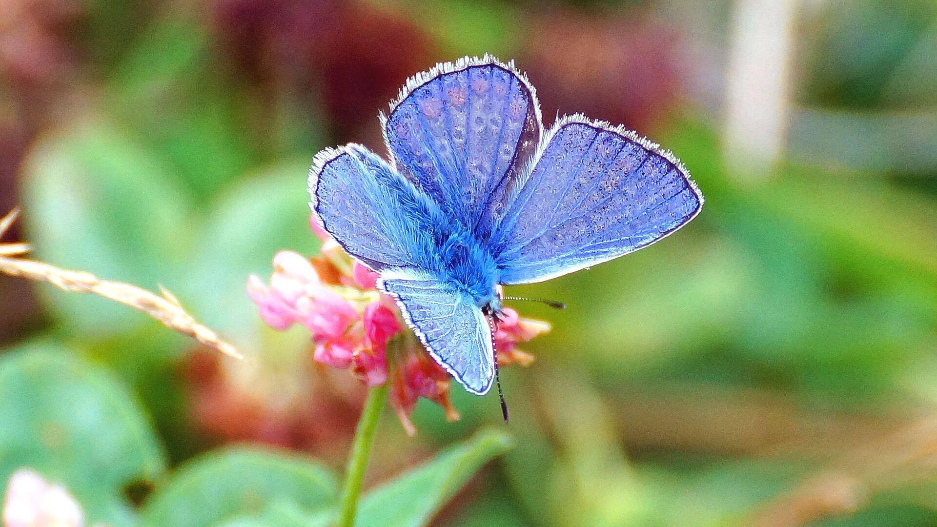 Голубянка – бабочка с необычной окраской